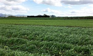小麦を蒔いて次年度の土づくり