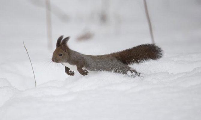 雪の中走るエゾリス1