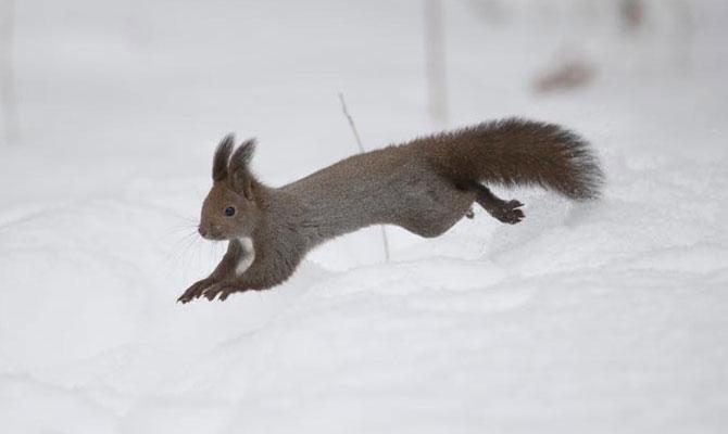 雪の中走るエゾリス2