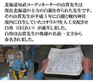 北海道旬直コーディネーターの山貫先生は 現在北海道の主力の白銀を作られた先生です。 その山貫先生が平成5年に白銀と幌内神社 境内に自生していたコオリユリを人口交配させ 白玲(はくれい)が誕生しました。 白玲は山貫先生の奥様の名前一文字から 命名されました。