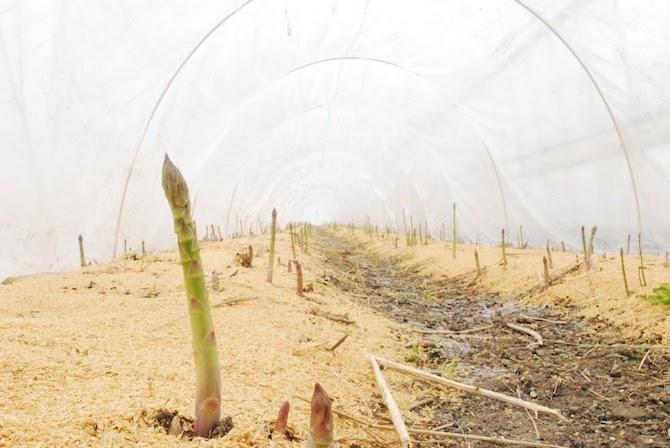 菊池農園のアスパラガス