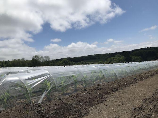 菊池農園とうもろこしロイシーコーン